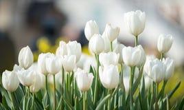 As tulipas brancas delicadas floresceram na mola adiantada em um parque da cidade Imagens de Stock Royalty Free