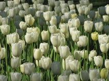 As tulipas brancas expuseram ? luz solar fotografia de stock royalty free