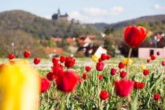 As tulipas coloridas estão florescendo em um prado foto de stock royalty free