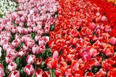 As tulipas coloridos no Keukenhof estacionam, Países Baixos Fotografia de Stock Royalty Free