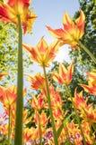 As tulipas com cores bonitas dirigiram para o sol Fotos de Stock