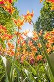 As tulipas com cores bonitas dirigiram para o sol Fotos de Stock Royalty Free