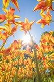 As tulipas com cores bonitas dirigiram para o sol Imagens de Stock
