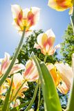 As tulipas com cores bonitas dirigiram para o sol Imagem de Stock Royalty Free