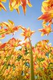 As tulipas com cores bonitas dirigiram para o sol Imagem de Stock