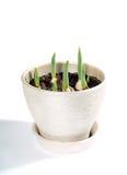 As tulipas começam a brotar no potenciômetro Fotos de Stock