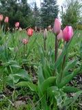 As tulipas cor-de-rosa crescem no jardim Imagens de Stock