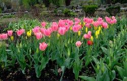 As tulipas cor-de-rosa crescem no jardim Fotos de Stock Royalty Free