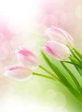 Tulipas cor-de-rosa Imagem de Stock Royalty Free
