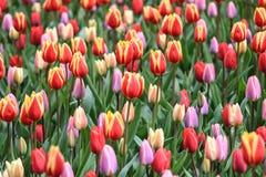 As tulipas cor-de-rosa, violetas, vermelhas, alaranjadas misturaram junto Imagens de Stock