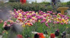 As tulipas crescem perto do lago Fotos de Stock