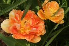 as tulipas deflorescência iluminam acima um jardim adiantado da mola foto de stock royalty free