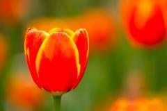 Borda tulipas amarelas/vermelhas Imagens de Stock