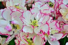 As tulipas, jardim de Keukenhof, Países Baixos Imagem de Stock