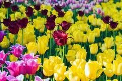 As tulipas no jardim Kukenhof estacionam, Holanda, Países Baixos Fotos de Stock