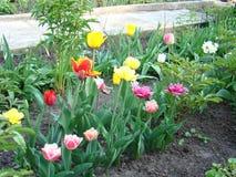 As tulipas são vermelhas, amarelas e cor-de-rosa Foto de Stock