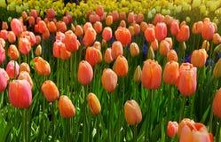 As tulipas vermelhas bonitas florescem nas tulipas colocam em vagabundos dos jardins das tulipas foto de stock