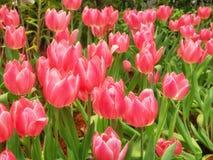 As tulipas vermelhas bonitas florescem no campo da tulipa, mola-florescendo a planta fotografia de stock