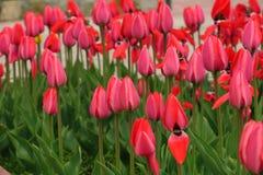 As tulipas vermelhas colocam em Países Baixos Campos vermelhos do tulip Opini?o vermelha das tulipas Campos vermelhos da tulipa n imagens de stock