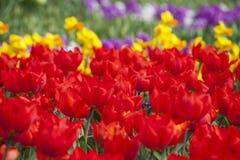 As tulipas vermelhas de florescência Fotografia de Stock Royalty Free
