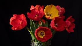 As tulipas vermelhas e amarelas fecham-se acima na superfície do preto filme
