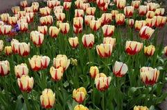As tulipas vermelhas e amarelas florescem no campo da tulipa fotos de stock