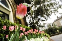 As tulipas vermelhas e brancas Fotografia de Stock Royalty Free