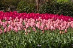 As tulipas vermelhas e cor-de-rosa florescem a florescência em um jardim Foto de Stock