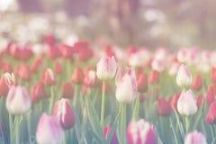 As tulipas vermelhas e cor-de-rosa que florescem na mola jardinam Imagem de Stock