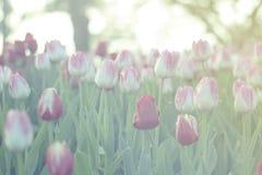 As tulipas vermelhas e cor-de-rosa que florescem no jardim da mola com fundo do alargamento do sol, esverdeiam tonificado Fotos de Stock