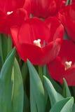 As tulipas vermelhas fecham-se acima Fotografia de Stock