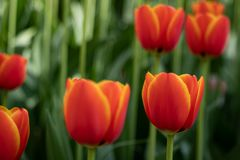 As tulipas vermelhas florescem em um dia ensolarado no parque em um fundo das folhas verdes fotos de stock