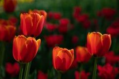 As tulipas vermelhas florescem em um dia ensolarado no parque em um fundo das folhas verdes fotos de stock royalty free