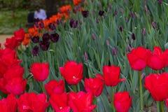 As tulipas vermelhas florescem em um dia ensolarado no parque em um fundo das folhas verdes imagens de stock royalty free