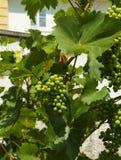 As uvas Foto de Stock