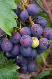 As uvas Imagem de Stock