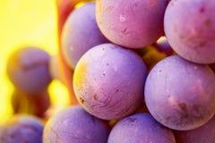 As uvas aglomeram-se na videira com cópia-espaço contra a luz solar foto de stock royalty free