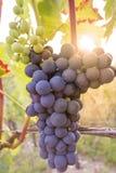 As uvas amadurecem no sol em um vinhedo fotografia de stock royalty free