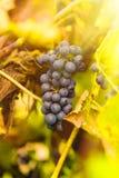 As uvas azuis aglomeram-se na videira com cópia-espaço contra a luz solar imagem de stock