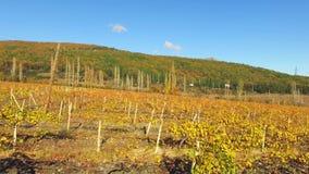 As uvas do outono após a colheita video estoque