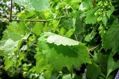 As uvas e as folhas verdes na vinha moldam o fundo foto de stock