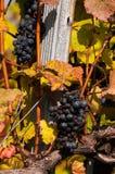As uvas maduras Fotografia de Stock
