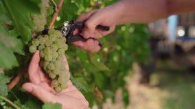 As uvas maduras em uma videira para a preparação do vinho branco cortaram um grupo do vinho, as mãos de um homem As mãos do ` s d filme