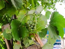 As uvas no jardim esverdeiam o muito foto de stock