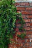As uvas novas em uma parede de tijolo Foto de Stock Royalty Free