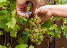 As uvas para vinho brancas que risling, aprontam-se para colher e fazendo o vinho Imagens de Stock