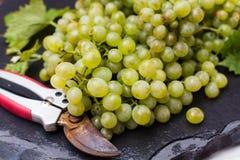 As uvas para vinho brancas riesling, aprontam-se para colher e fazendo o vinho Imagem de Stock Royalty Free