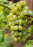 As uvas para vinho brancas riesling, aprontam-se para colher e fazendo o vinho Imagem de Stock