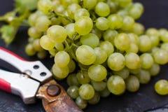 As uvas para vinho brancas riesling, aprontam-se para colher e fazendo o vinho Fotografia de Stock Royalty Free