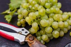 As uvas para vinho brancas riesling, aprontam-se para colher e fazendo o vinho Fotos de Stock